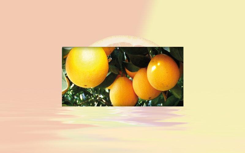 Brazilian citrus market: Early orange crop may end in August