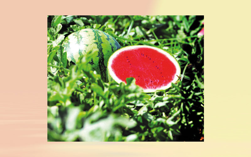 Hazera's Mini-Watermelon comes to Africa – Delighting farmers and consumers