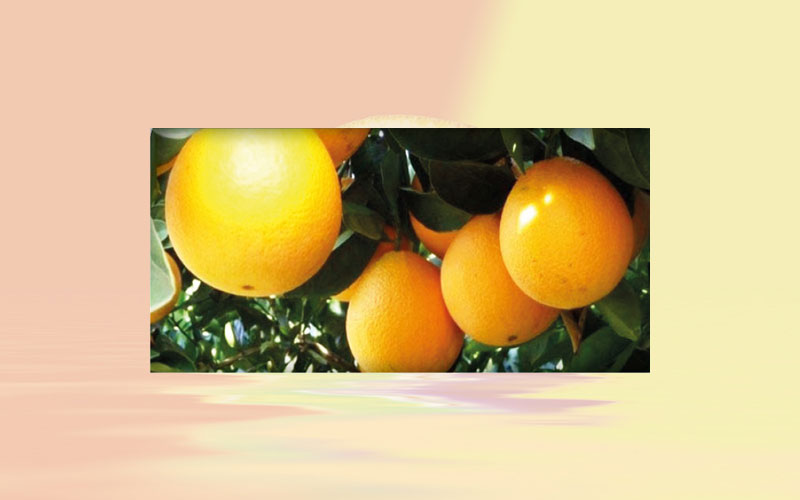 "Late oranges supply should increase in September and ""control"" pear orange quotes"