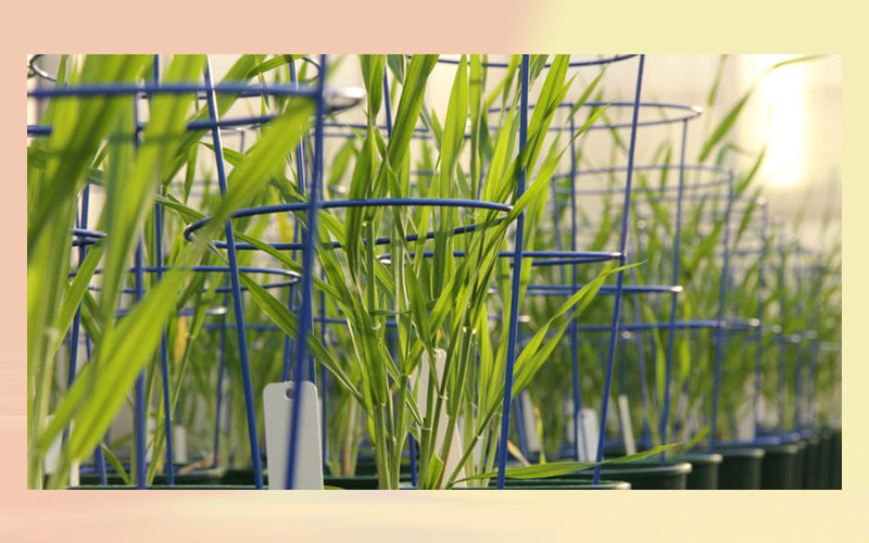New polysaccharide discovered in barley