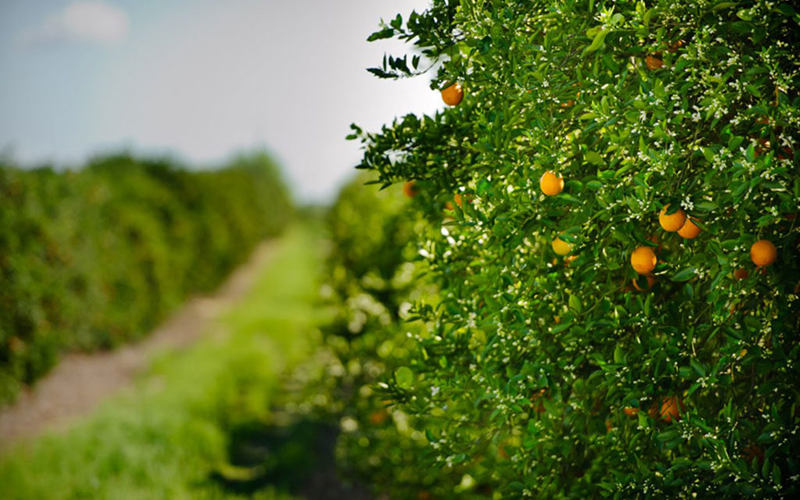 Slight change in Florida Orange and Grapefruit crops
