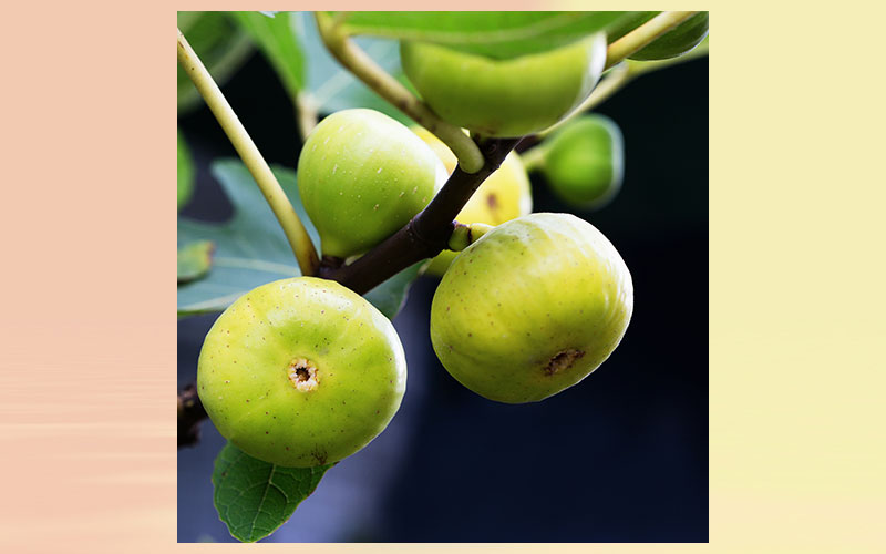Fig extract for healthy blood sugar levels