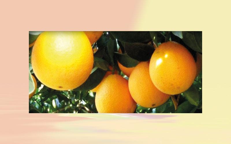 Brazil: rains cheer up farmers; orange price rise